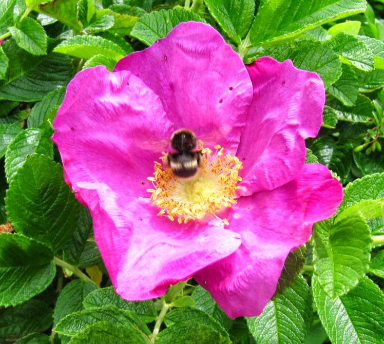 Fleissige Hummel auf einer Blüte